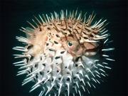 Сувенир-рыба фугу